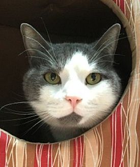 Domestic Shorthair Cat for adoption in Stroudsburg, Pennsylvania - Little Kitty