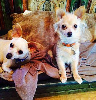 Chihuahua Mix Puppy for adoption in Santa Monica, California - Cha Cha