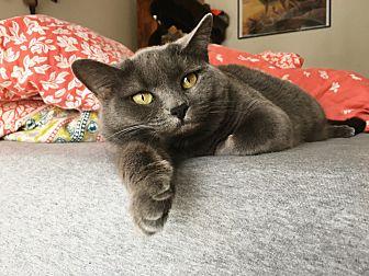 Domestic Shorthair Cat for adoption in Pataskala, Ohio - Bella