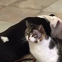 Domestic Shorthair Cat for adoption in West Bloomfield, Michigan - Ferris