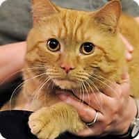 Adopt A Pet :: Tigre - Brooklyn, NY