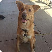 Adopt A Pet :: Leela - Simpsonville, SC
