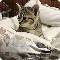 Domestic Shorthair Kitten for adoption in White Bluff, Tennessee - Tess/CS
