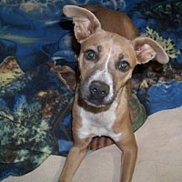 Adopt A Pet :: Becky - Glendale, AZ
