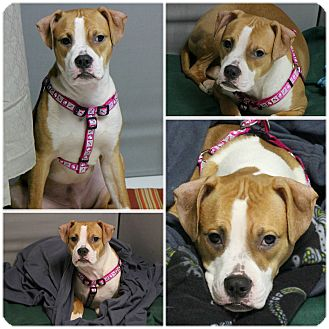 American Staffordshire Terrier Mix Puppy for adoption in Forked River, New Jersey - Kane