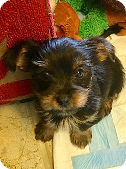 Yorkie, Yorkshire Terrier Mix Puppy for adoption in Ft. Lauderdale, Florida - Carson & Chad