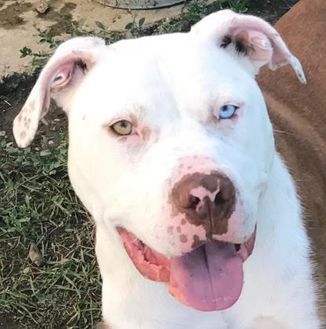 American Pit Bull Terrier Mix Dog for adoption in Wenatchee, Washington - Ice