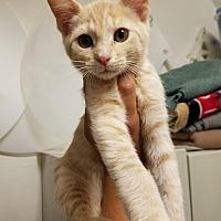 Adopt A Pet :: Socks - San Dimas, CA