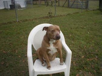 American Pit Bull Terrier Mix Dog for adoption in Jacksonville, Florida - Sadie 0508