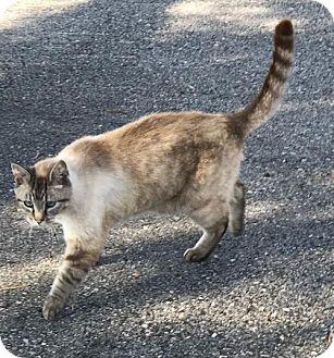 Domestic Shorthair Cat for adoption in Harrisonburg, Virginia - Lightning
