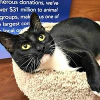 Domestic Shorthair/Domestic Shorthair Mix Cat for adoption in McKinney, Texas - Jen