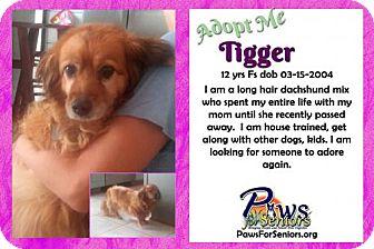 Dachshund/Collie Mix Dog for adoption in Bealeton, Virginia - Tigger