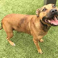 Pit Bull Terrier Mix Dog for adoption in Waco, Texas - KATIE