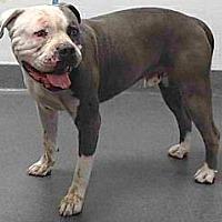 American Bulldog Mix Dog for adoption in Beverly Hills, California - 18-02833 @ SEAACA