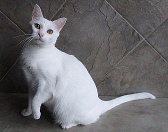 Domestic Shorthair Cat for adoption in Seguin, Texas - Jill
