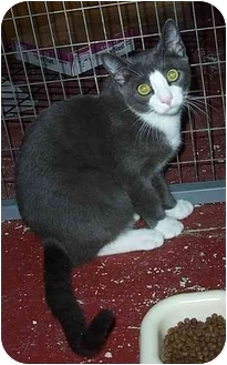 Russian Blue Kitten for adoption in Randolph, New Jersey - Tommy