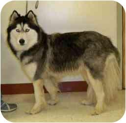 Siberian Husky Dog for adoption in Vineland, New Jersey - Mya