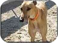 Greyhound Dog for adoption in St Petersburg, Florida - Frank