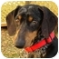 Photo 1 - Dachshund Dog for adoption in Bryan, Texas - McClintock