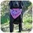Photo 1 - Labrador Retriever/Hound (Unknown Type) Mix Dog for adoption in Portsmouth, Rhode Island - Zia