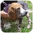 Photo 4 - Beagle/Chinese Crested Mix Dog for adoption in Ventnor City, New Jersey - GABE