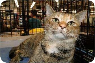 Domestic Shorthair Cat for adoption in Harrisburg, North Carolina - Isadora