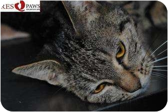 Domestic Shorthair Cat for adoption in Yuba City, California - Rex (unknown sex/age)