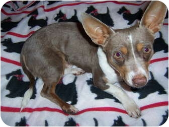 Chihuahua Mix Dog for adoption in East Hampton, New York - Snoopy