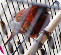 Canary for adoption in Lenexa, Kansas - Jazzy