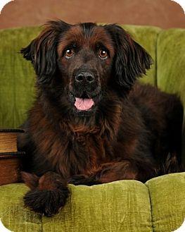 Cocker Spaniel Mix Dog for adoption in Las Vegas, Nevada - Elroy