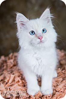 Domestic Longhair Kitten for adoption in Eagan, Minnesota - Rikki