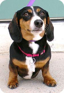 Dachshund Dog for adoption in Chino Valley, Arizona - Liesel
