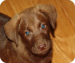 Labrador Retriever Mix Puppy for adoption in North Haverhill, New Hampshire - Holly