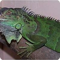 Adopt A Pet :: Mr. Maya - Quilcene, WA