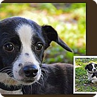 Adopt A Pet :: Bullet - Brooksville, FL