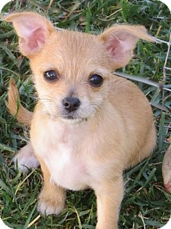 Chihuahua/Terrier (Unknown Type, Small) Mix Puppy for adoption in La Habra Heights, California - Maple