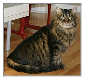 Maine Coon Cat for adoption in Oakland, California - Nigel
