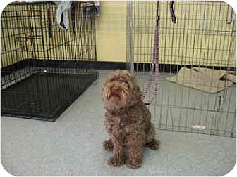 Poodle (Miniature)/Yorkie, Yorkshire Terrier Mix Dog for adoption in Kirkland, Quebec - Simba