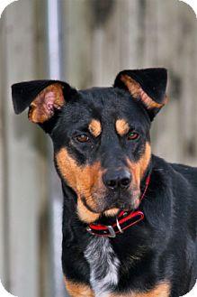 Rottweiler/Shepherd (Unknown Type) Mix Dog for adoption in Winder, Georgia - Jake