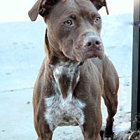 American Staffordshire Terrier Mix Dog for adoption in Yukon, Oklahoma - Coco Puff