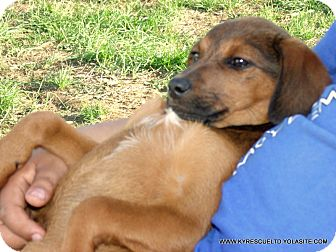 Australian Cattle Dog/Shepherd (Unknown Type) Mix Puppy for adoption in Waterbury, Connecticut - IRIS~ADOPTED