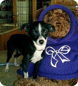 Rat Terrier/Terrier (Unknown Type, Medium) Mix Dog for adoption in Tehachapi, California - BoD'acious