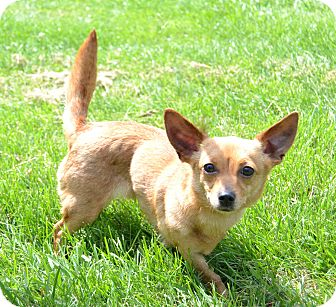 Chihuahua Mix Dog for adoption in Michigan City, Indiana - Tootsie