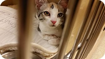 Domestic Shorthair Kitten for adoption in East Hartford, Connecticut - Summer (in CT)