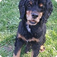 Cocker Spaniel/Labrador Retriever Mix Dog for adoption in Santa Barbara, California - Powers