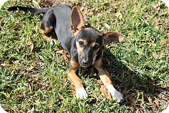 Miniature Pinscher Mix Dog for adoption in Atmore, Alabama - Ellie