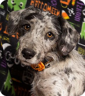 Terrier (Unknown Type, Medium) Mix Dog for adoption in Baton Rouge, Louisiana - Tiny Tim