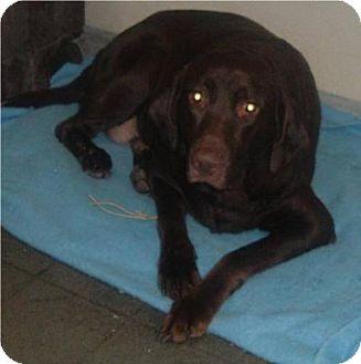 Labrador Retriever Dog for adoption in Palatine/Kildeer/Buffalo Grove, Illinois - Edward