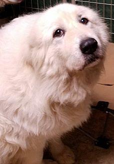 Great Pyrenees Dog for adoption in Newnan, Georgia - Zoe