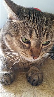 Domestic Shorthair Cat for adoption in Huntington, Indiana - Ariel